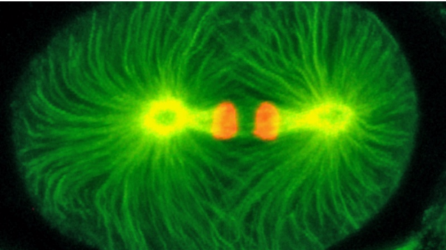 Mutant Protein Found 17 Years Ago Considered the Earliest Actor in Cell Division