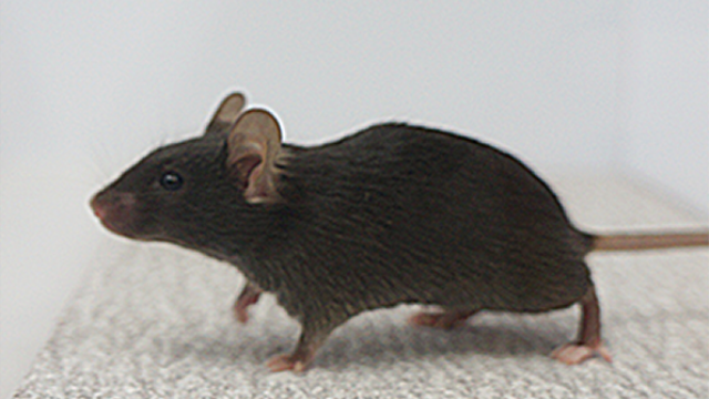 "Switching off brain circuit renders mice ""out of touch"" with environment"