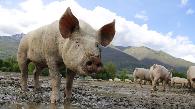 Nanocomposite Will Reduce Pig Pollution