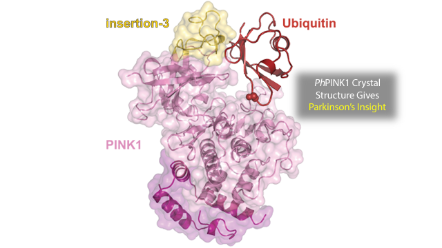 New Crystal Structure of (Ph)PINK1 Aids Understanding of Early Onset Parkinson's