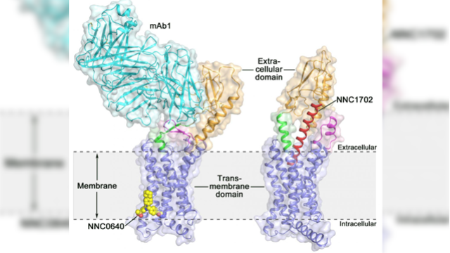 New Opportunities for Type 2 Diabetes Drug Discovery: Researchers Determine Glucagon Receptor Structure