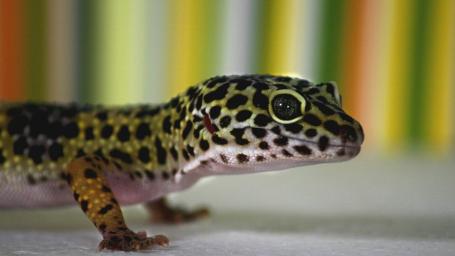 New Study Find First Evidence That Leopard Geckos Can Make New Brain Cells