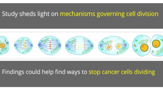New Understanding of How Cells Divide