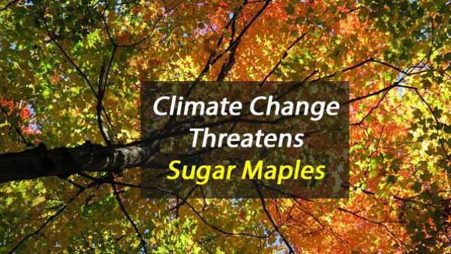 Nitrogen Pollution Helps Sugar Maples but a Warmer, Drier Climate May Threaten Them