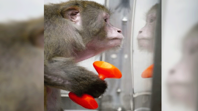 Nonhuman Primates Have a Starring Role in the Stem Cell Story