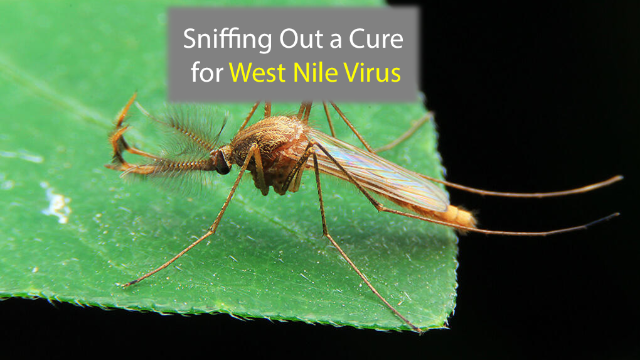 Nose-Delivered RNA Therapy Helps Destroy West Nile Virus
