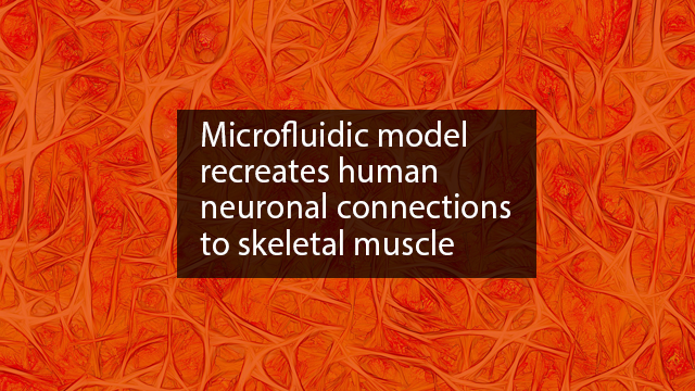 Novel Neuromuscular Junction Model Benefits Drug Discovery