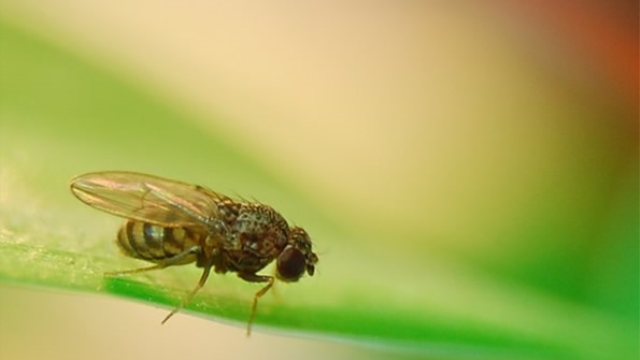 Dietary restriction gives fruit flies a rhythm for a long life