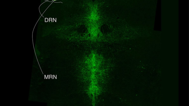 Yin and yang of serotonin neurons in mood regulation