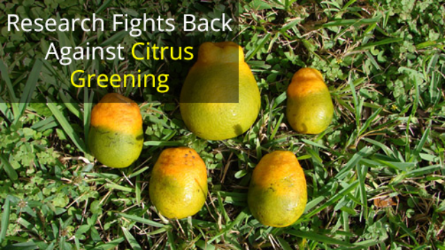 Nymph Study Boost for Citrus Greening Research