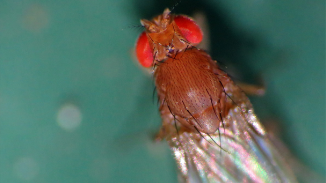 Fruit fly pheromone flags great real estate for starting a family