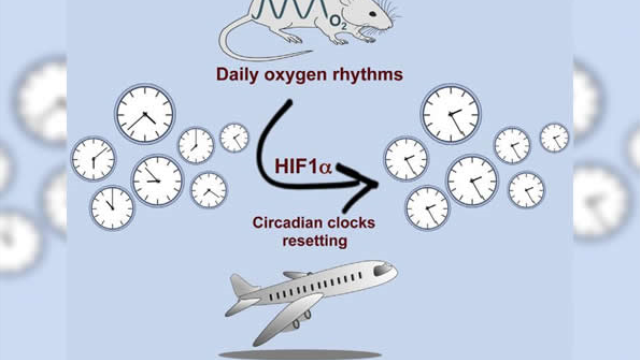Blast of thin air can reset circadian clocks
