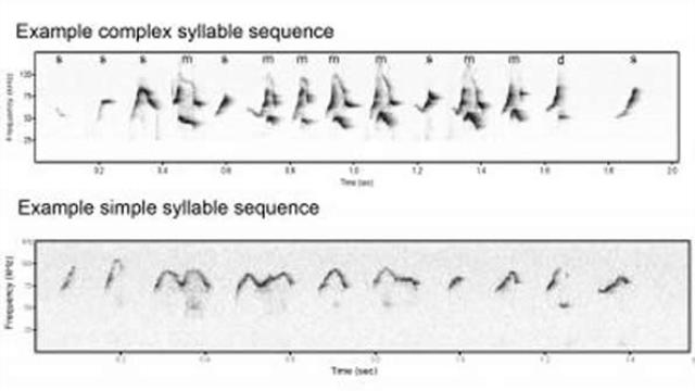 Male mice prove good model of human speech defect
