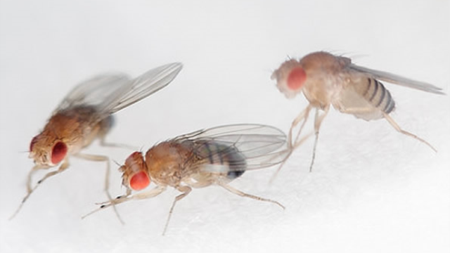 How the fruit fly's brain knows where the fruit fly's going