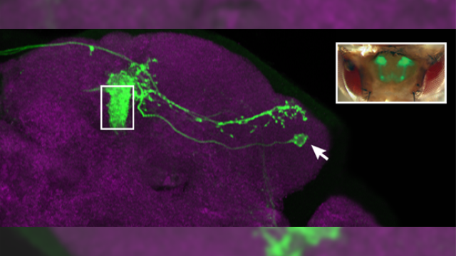 Brain cells in fruit fly hold secret to individual odor preferences