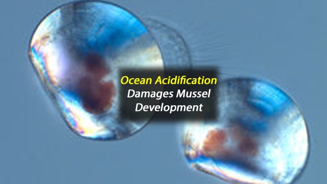 Ocean Acidification Affects Mussels at Early Life Stages