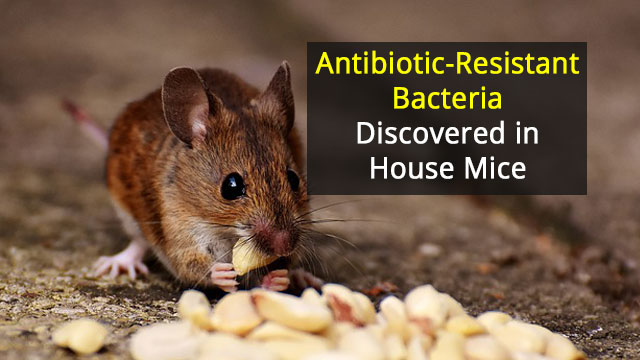 Of Mice and Disease: House Mice Carry Bacteria Responsible for Food Poisoning