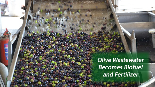Olive Mill Wastewater Transformed: From Pollutant to Bio-Fertilizer and Biofuel