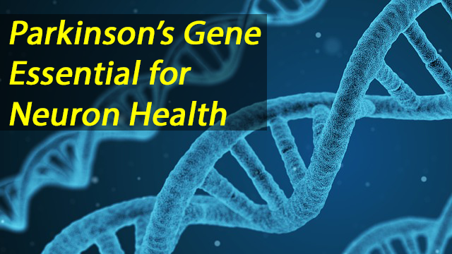 Parkinson's Gene Maintains Neuronal Health in the Brain