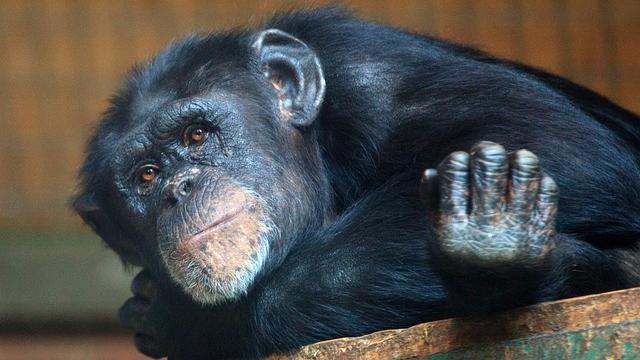 Pathological Hallmarks of Alzheimer's Disease in Old Chimpanzee Brains