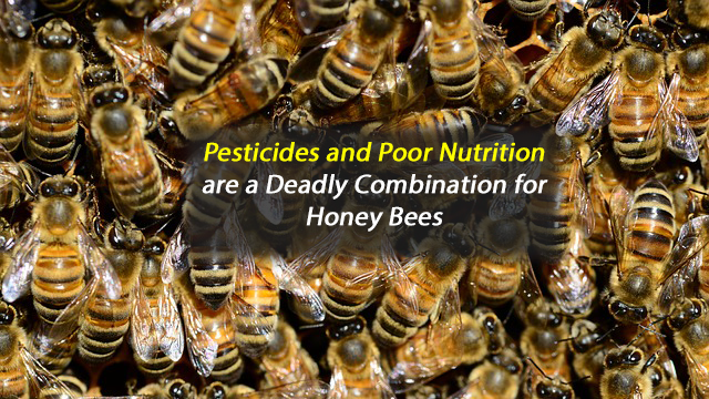 Pesticides and Poor Nutrition Form a Deadly Combination for Honey Bees