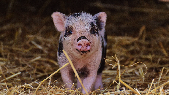 Piglets Might Unlock Keys to IVF in Humans