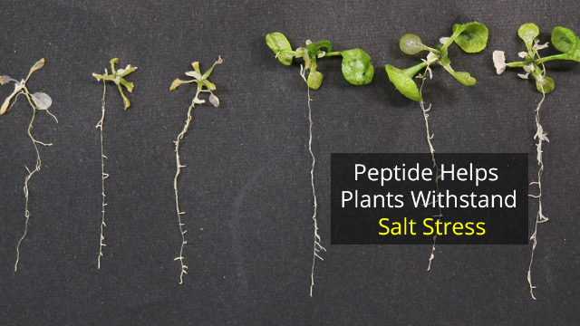 Plant Peptide Gives Relief From Salty Stress