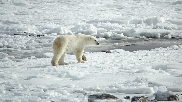 Polar Bear's Worrying Indicator of Contamination
