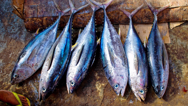 Pollutant Levels in Tuna Depend on Where They Are Caught