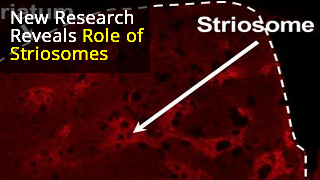 "Predicting the Future: ""Striosome"" Neurons in the Basal Ganglia Play a Key Role in Learning"