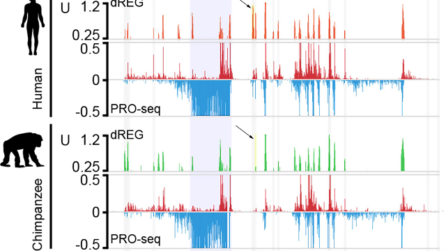 Primate Promoters: Sequencing Reveals How Our DNA Regulation Differs From Apes'