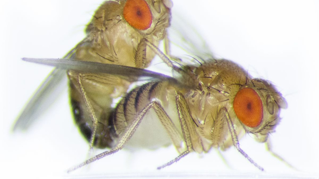 Female Fruit Flies' Sexual Partner Count Influences Selection