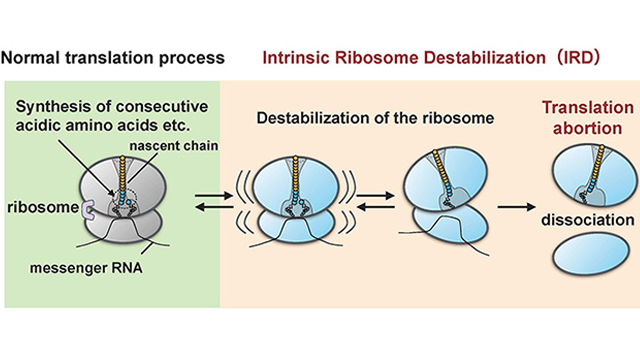 "Protein ""Intentionally"" Terminates own Synthesis by Destabilizing Synthesis Machinery — the Ribosome"