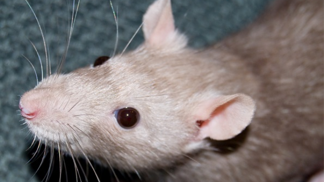 """Rats' brains may """"remember"""" odor experienced while under general anesthesia, study suggests"""