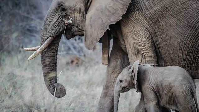 Elephants' 'zombie gene' makes them immune to cancer