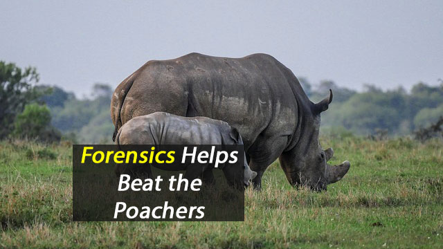 Rhino Forensics Helps Beat Poaching