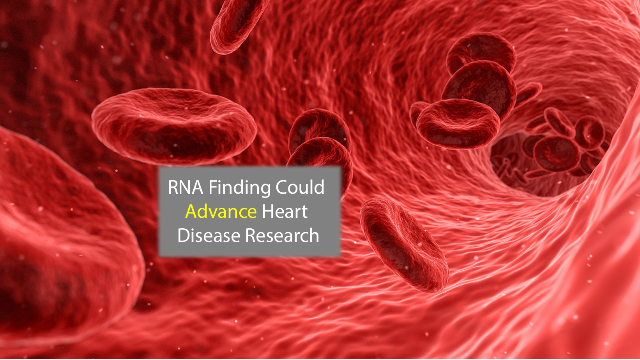 RNA That Helps Grow Blood Vessels Could Aid Heart Disease Research
