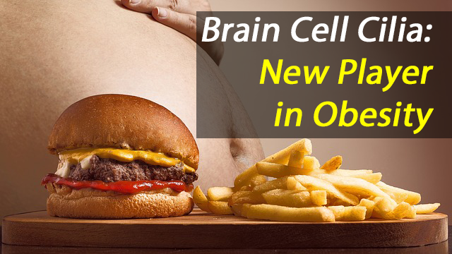 Role of Cilia in Appetite Control Uncovered, May be Key to Understanding Obesity