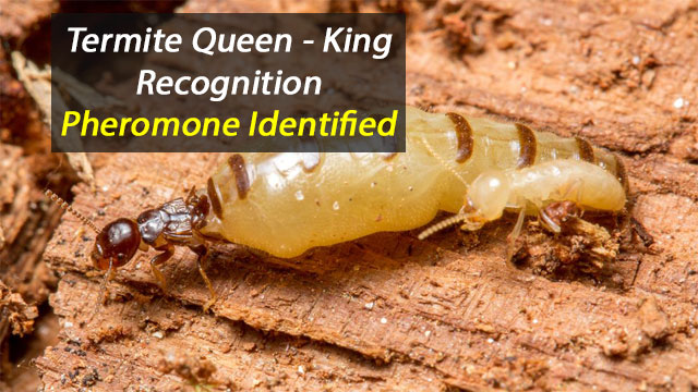 'Royal' Pheromone Identified in Termites