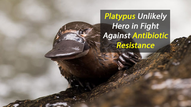 Saving Lives with Platypus Milk