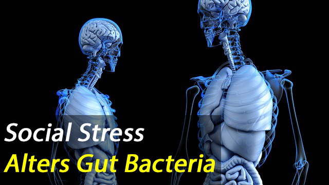 Scientists Find Social Stress Leads To Changes In Gut Bacteria