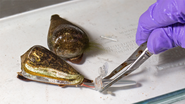 Scientists Look to Venomous Cone Snails For Novel Therapeutics