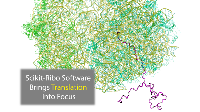 Scikit-ribo Software Brings Protein Translation Into Codon-Level Focus