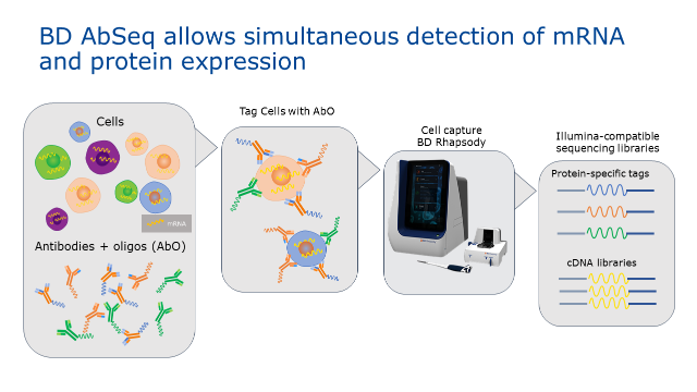 Single Cell Analysis with the BD AbSeq Assay