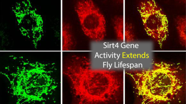 Sirt4 Gene Able to Extend Healthy Fly Lifespan