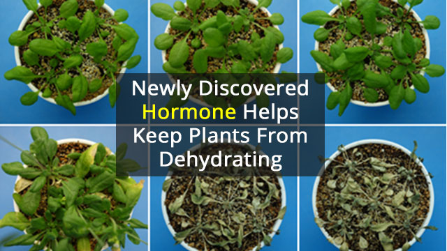 Small Hormone that Helps Plants Retain Water