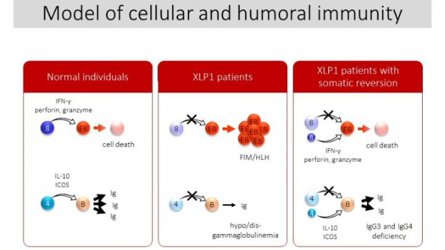 Small Populations of Normal Cells Affect Immunity in Patients with XLP1