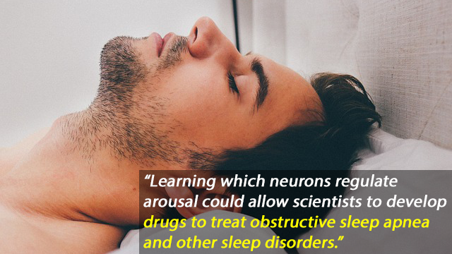 Snoring at the Synaptic Level, Neurons That Rouse the Brain from Sleep Apnea Found