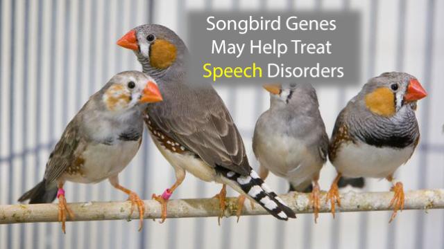 Songbird Genes May Help Treat Speech Disorders