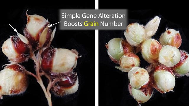 Sorghum's Grain Number Tripled by Simple Genetic Change